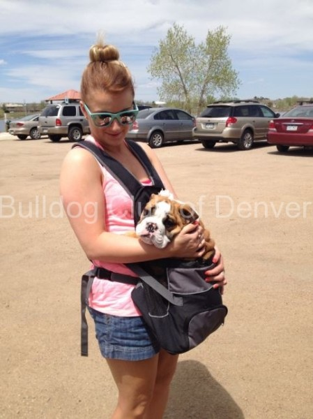 taylor-riley-bulldog-walk