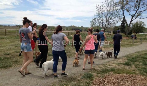group-bulldog-walk