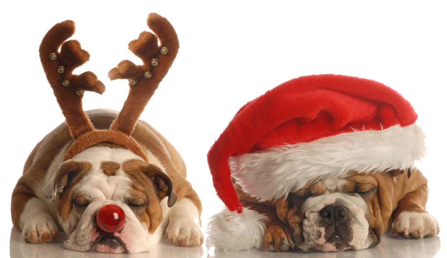 english-bulldogs-dressed-up-as-santa-and-rudolph